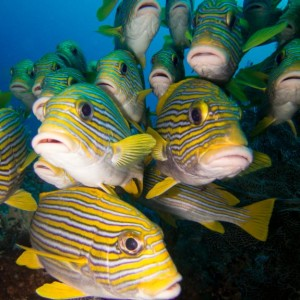 Sweetlips Mangrove