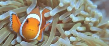 Anemone fish - Nusa Penida