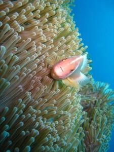 Anemone diving Bali Indonesia